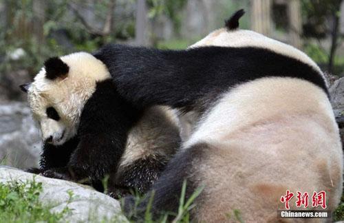 大熊猫强制给娃洗澡 宝宝一脸不情愿